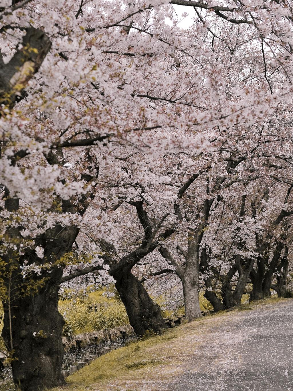 Cerejeiras em flor no Brooklyn Botanical Garden