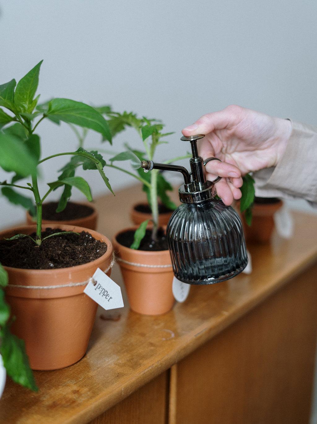 Regar vasos de ervas aromáticas