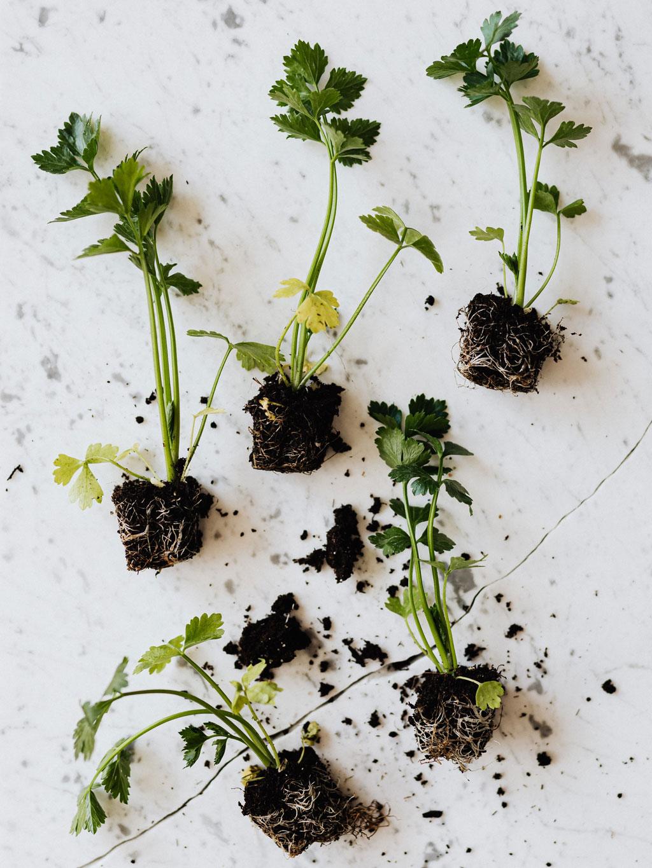Rebentos de ervas aromáticas